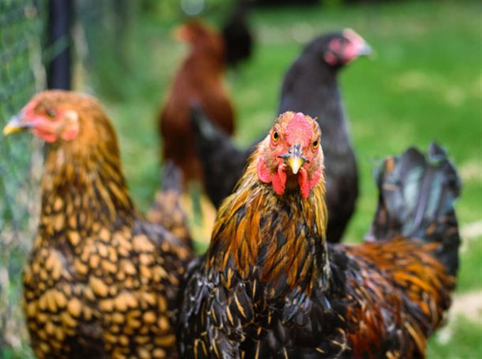 Egg Rate | Egg Price | Broiler Rate SMS | Poultry Bazaar Updates